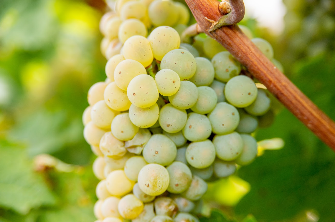 Grapes in Idaho