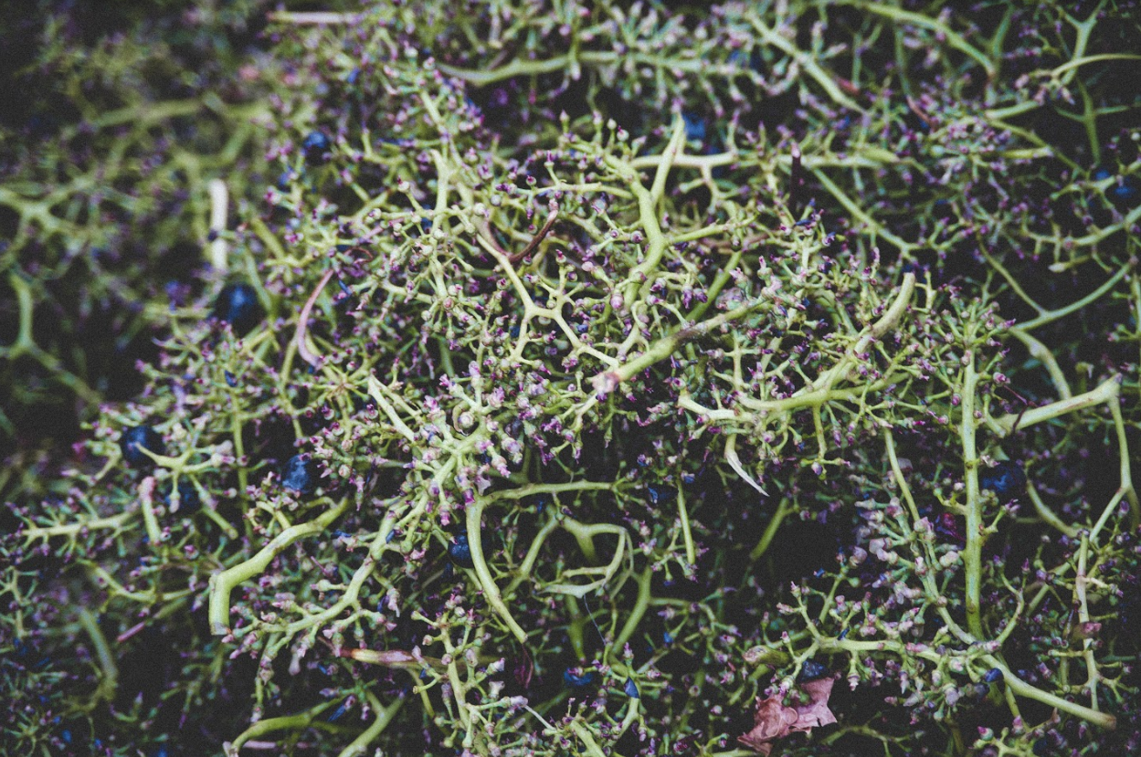 Stems of Grapes
