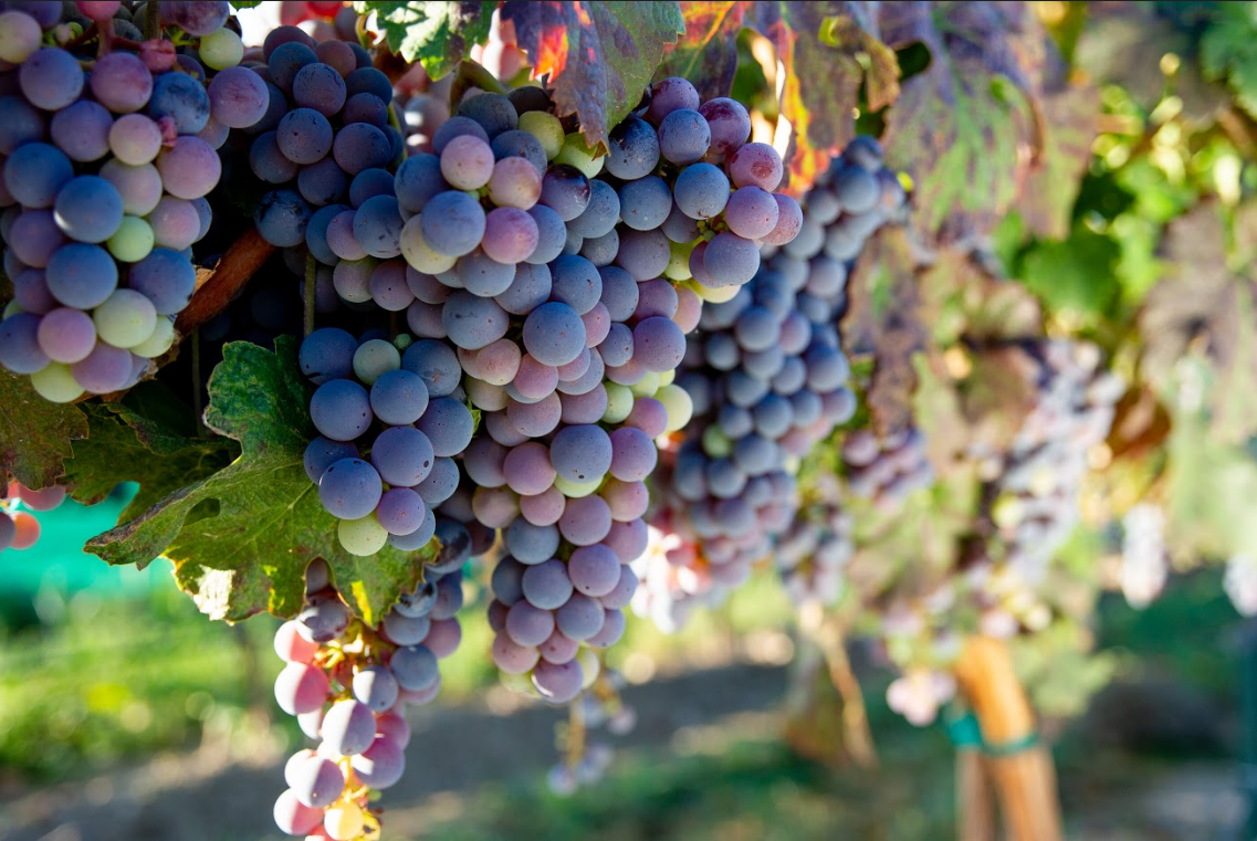 Red Grapes in Idaho